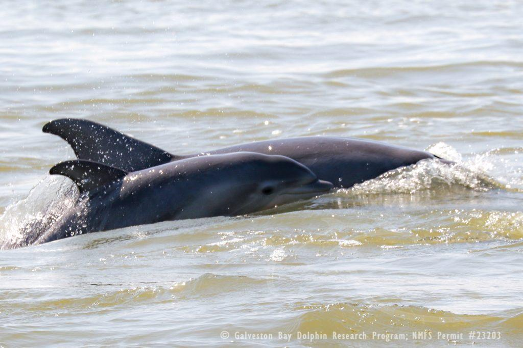 dolphin mom and calf