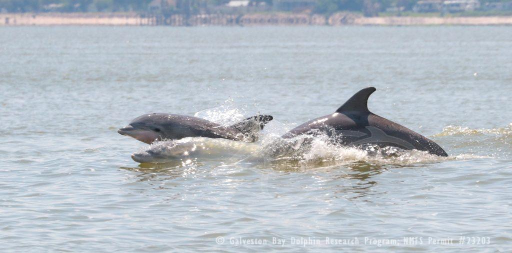 dolphins in Galveston Bay Texas